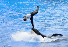 Orca stunt act. Orlando, USA - August 22, 2009: Animal trainer practices stunt act with orca. Training killer whales is a very demanding job Stock Photos
