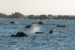 Orca Whale surfaces at Wellington New Zealand royalty free stock images