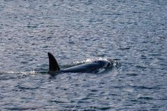 Orca Whale surfacing, Wellington, New Zealand royalty free stock photography