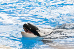 Orca swimming Royalty Free Stock Photos