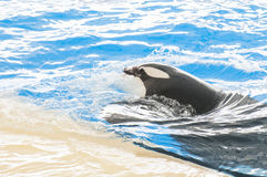 Orca swimming Royalty Free Stock Images