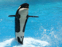 An Orca Tail Walking. A Young Killer Whale Tail Walks Across the Water Stock Photography