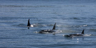 Orca Trio royalty free stock photo