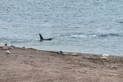 Orca in the Valdes Peninsula. In the Valdes Peninsula it`s possible to see the Orcas from shore in Punta Norte. They try to attack sea lions. Peninsula Valdes in royalty free stock images