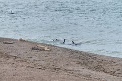 Orca in the Valdes Peninsula. In the Valdes Peninsula it`s possible to see the Orcas from shore in Punta Norte. They try to attack sea lions. Peninsula Valdes in royalty free stock photography