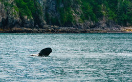 Orca Waving Flipper stock photography