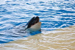 Orca whale Royalty Free Stock Image