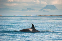 Orca whale. Wild orca whale in open sea royalty free stock photos