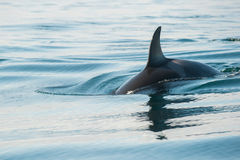 Orca whale Royalty Free Stock Photography