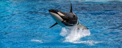 Orca whale jumping out of the ocean. Orca whale, also known as a Killer Whale, jumping out of the ocean royalty free stock images