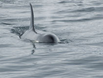 Orca Whale Breeching royalty free stock photography