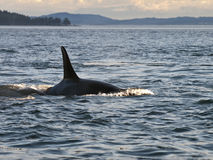 Orca Whale Dorsal Fin. A resident Orca Whale swimming by one of the southern Gulf Islands of British Columbia, Canada Royalty Free Stock Images