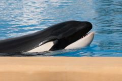 Orca whale , killer whale portrait Royalty Free Stock Photos