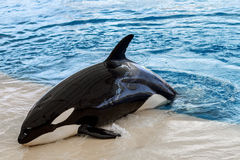 Orca whale, killer whale outside pool Royalty Free Stock Image