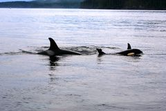 Orca Whale Mother with young swimming in Johnstone Strait, Pacific Ocean, Canada. Orca Whales, mother and young swimming in together in the waters of Johnstone stock image