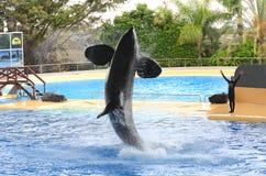 Orca whale show in Loro Park in Puerto de la Cruz on Tenerife, Canary Islands Stock Photos