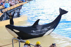 Orca whale show in Loro Park in Puerto de la Cruz on Tenerife, Canary Islands Stock Photo