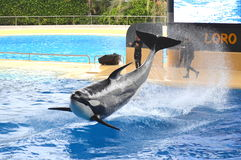 Orca whale show in Loro Park in Puerto de la Cruz on Tenerife, Canary Islands Royalty Free Stock Photo