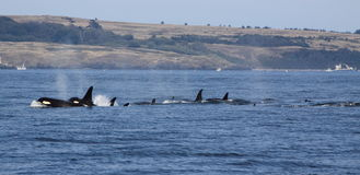 Orca whales. Pod of orca killer whales in Canadian waters royalty free stock images