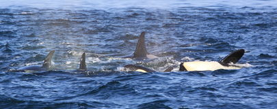 Orca whales stock photography