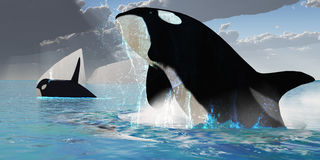 Orca Whales Stock Images