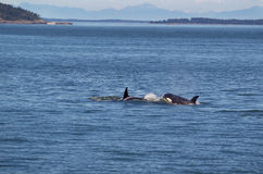 Orca Whales Chasing Each Other. Two young adult Orca Whales chasing each other in the San Juan Islands with the Cascade Mountains in the background royalty free stock photo