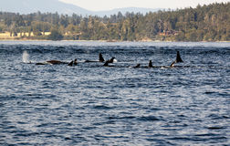 Orca whales. Pod of orca killer whales in Canadian waters stock image