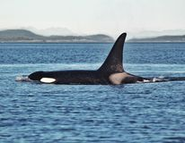 Orca. An Orca in the wild royalty free stock photo