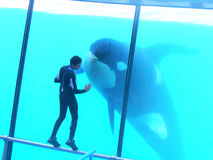 Orca y un hombre junto foto de archivo