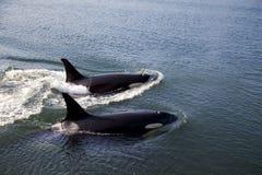 orcas που κολυμπούν δύο Στοκ Φωτογραφία