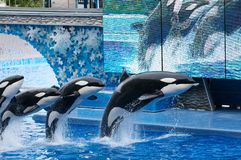 Orcas stock photography
