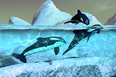 Orcas. Several Orcas in cold waters of the Arctic Stock Photos