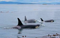Orcas fotografia de stock