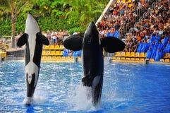 Orcas Imágenes de archivo libres de regalías