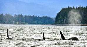 Orcas in Alaska. A pod of orca killer whales, the largest species of oceanic dolphin family, is seen with spouts of water, air and particles in a coastal royalty free stock images
