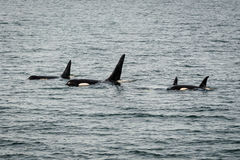 Orcas in Alaska. This is the beautiful Alaska Landscape orcas in Alaska Royalty Free Stock Photography