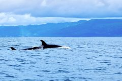 Orcas in the Azores stock images