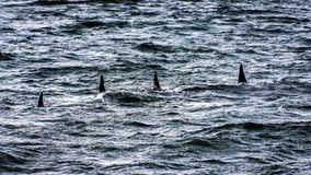 Orcas - cuadrilla del mar imágenes de archivo libres de regalías