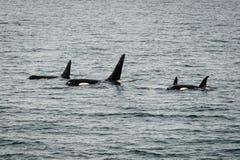 Orcas em Alaska Fotografia de Stock Royalty Free