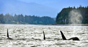 Orcas en Alaska Imágenes de archivo libres de regalías