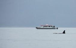 Orcas en Juneau Foto de archivo libre de regalías