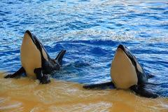 Orcas en la piscina Fotos de archivo