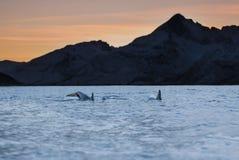 Orcas en la puesta del sol Foto de archivo libre de regalías