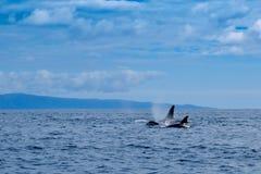 Orcas en Pico, Azores fotografía de archivo
