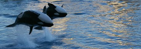 Orcas Jumping Royalty Free Stock Image