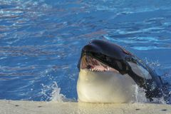 Orcas killer whale orca. In sea stock photography