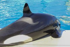 Orcas killer whale orca. In sea royalty free stock photo