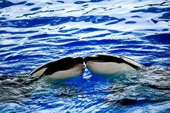 Orcas kissing with each over Royalty Free Stock Images