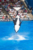Orcas perform summersault Royalty Free Stock Photo