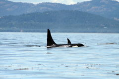 Orcas selvagens 5 Imagens de Stock